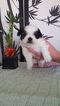 Shih Tzu Puppy For Sale in YUCAIPA, CA, USA