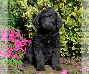 Labradoodle Puppy for sale in NEW PROVIDENCE, PA, USA