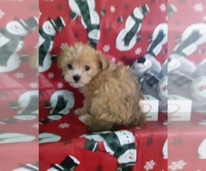 Yo-Chon Puppy for sale in SCOTTVILLE, MI, USA