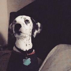 Dalmatian Puppy For Sale in LAS VEGAS, NV