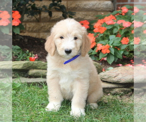 Goldendoodle Puppy for sale in NEW PROVIDENCE, PA, USA
