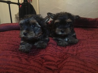 Yorkshire Terrier Puppy For Sale in STOCKTON, CA
