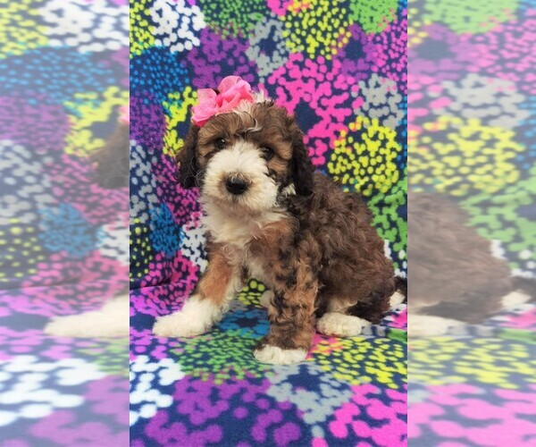 View Ad: Sheepadoodle Puppy for Sale near Pennsylvania
