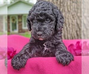 Poodle (Standard) Puppy for sale in OAKDALE, IL, USA