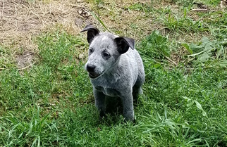 Australian Stumpy Tail Cattle Dog Puppy For Sale in APLINGTON, IA, USA