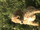 Poodle (Standard) Puppy For Sale in PUEBLO, CO, USA