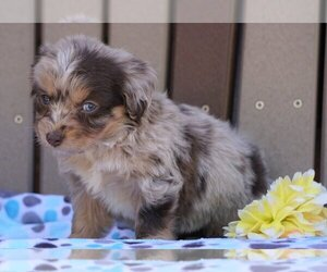 Australian Shepherd-Poodle (Miniature) Mix Puppy for sale in FREDERICKSBG, OH, USA