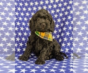 Cocker Spaniel-Poodle (Miniature) Mix Puppy for sale in LINCOLN UNIVERSITY, PA, USA