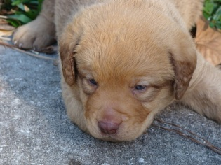 Chesapeake Bay Retriever Puppy For Sale in ASTOR, FL, USA