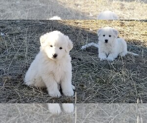 Great Pyrenees Puppy for sale in TWIN FALLS, ID, USA