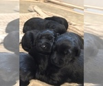 Small #5 Goldendoodle-Labrador Retriever Mix
