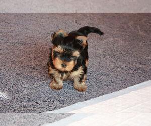 Yorkshire Terrier Puppy for sale in NORFOLK, VA, USA