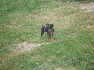Miniature Pinscher Puppy for sale in MARIETTA, OH, USA