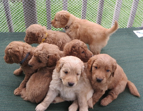 View Ad: Goldendoodle Litter of Puppies for Sale near ...