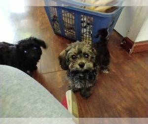 Dorkie-Poodle (Toy) Mix Puppy for sale in TILDEN, IL, USA