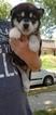 Puppy 6 Alaskan Malamute
