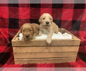 Golden Retriever Puppy for sale in JOHNSBURY, VT, USA