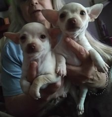 Chihuahua Puppy for sale in TAPPAHANNOCK, VA, USA
