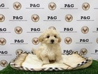 Maltipom Puppy For Sale in TEMPLE CITY, CA
