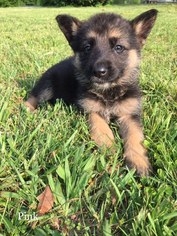 German Shepherd Dog Puppy For Sale in DALTON, GA