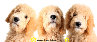 Goldendoodle Puppy For Sale in LITHIA, FL
