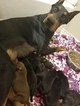 AKC doberman pups health tested parents 50Europea