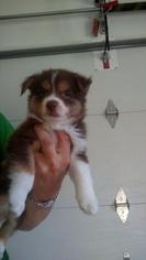 Australian Cattle Dog Puppy For Sale in NORWALK, WI