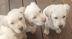 Labrador Retriever Puppy For Sale in POCAHONTAS, AR, USA