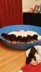 Doberman Pinscher Puppy For Sale in RALEIGH, NC