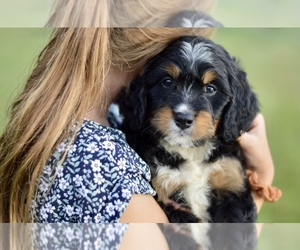 Bernedoodle Puppy for Sale in CRESTON, Ohio USA