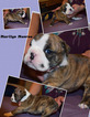 Bulldog Puppy For Sale in PARKER, CO