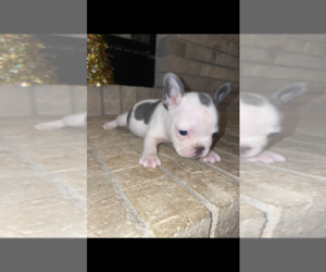 French Bulldog Puppy for sale in BAKERSFIELD, CA, USA
