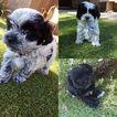 Havanese Puppy For Sale in PHOENIX, AZ