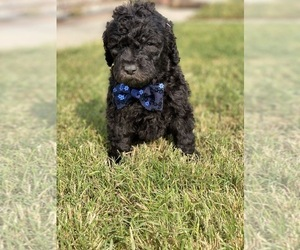 Poodle (Standard) Puppy for sale in HANFORD, CA, USA