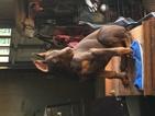 Doberman Pinscher Puppy For Sale in SAVANNAH, TN, USA