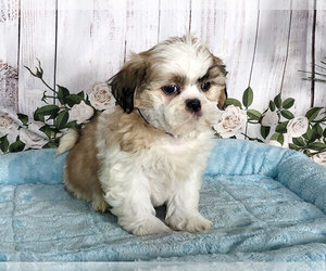 Shih Tzu Puppy for sale in PENNS CREEK, PA, USA