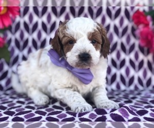 Australian Stumpy Tail Cattle Dog-Poodle (Toy) Mix Puppy for sale in CLAY, PA, USA