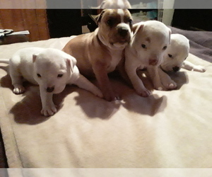 Bullypit Puppy for sale in CLAYTON, NM, USA