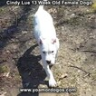 Small Photo #183 Dogo Argentino Puppy For Sale in PINEVILLE, MO, USA