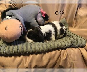 Cocker Spaniel Puppy for sale in CADDO, OK, USA