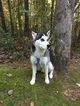 Siberian Husky Puppy For Sale in ROME, GA,