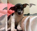 Small #2 Rat Terrier