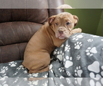 Puppy 8 Olde English Bulldogge