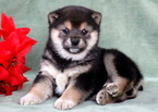 Shiba Inu Puppy For Sale in MOUNT JOY, PA,