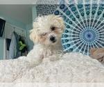 Puppy 0 Shih-Poo-Zuchon Mix