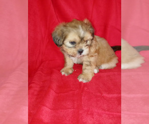 Poodle (Miniature)-ShihPoo Mix Dog for Adoption in SPOTSYLVANIA, Virginia USA