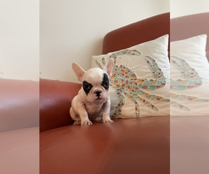 French Bulldog Puppy for sale in VIRGINIA BCH, VA, USA