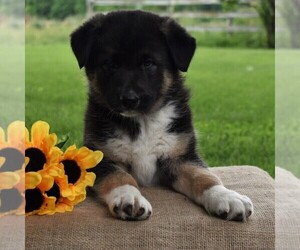 Australian Cattle Dog-German Shepherd Dog Mix Puppy for sale in BEAVERTOWN, PA, USA