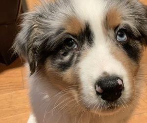 Australian Shepherd Puppy for Sale in ASHLAND, Oregon USA