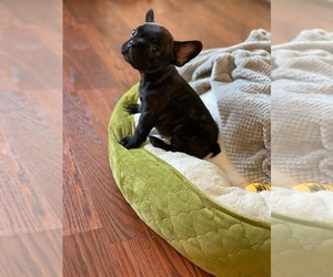 French Bulldog Puppy for Sale in GLENDALE, California USA